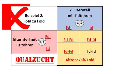 Scottish Fold Kitten cat Schottisches Faltohr Kätzchen Katze genetics probability wahrscheinlichkeit straight stehohr