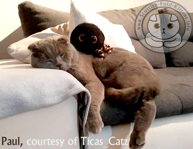 Scottish Fold Kitten Schottisches Faltohr Kätzchen Katze Paul Ticas Catz Breeder Vermehrer