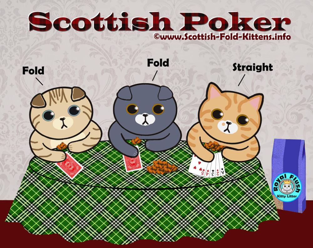 Scottish Fold Kitten cat for sale ad available Faltohr Kätzchen Katze zum Verkauf verfügbar ebay kleinanzeigen