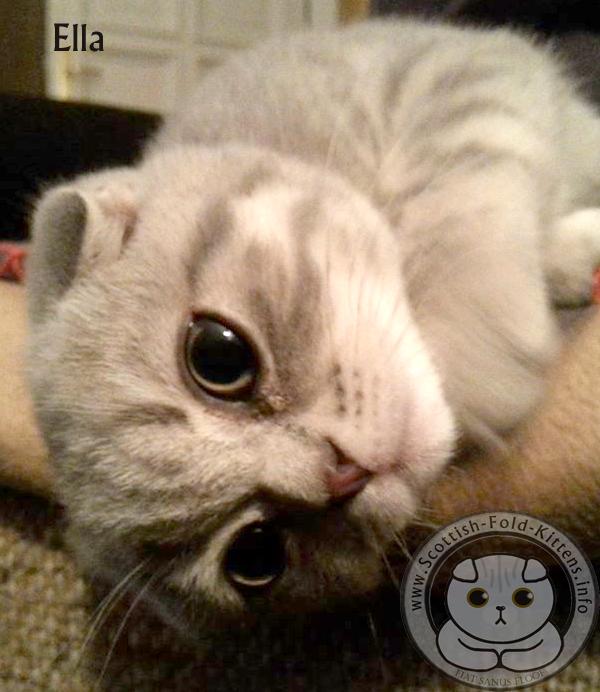 Scottish Fold Kitten cute