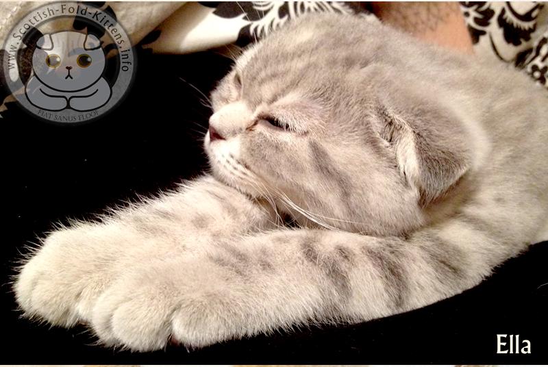 Scottish Fold Kitten Ella relaxed