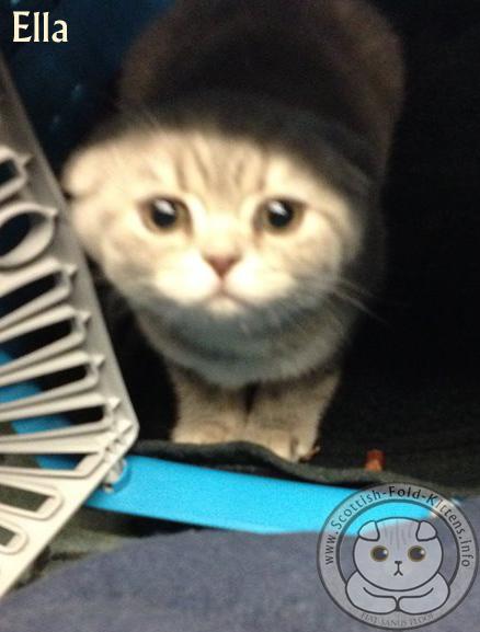 Scottish Fold Kitten in Carrier Faltohr Kätzchen im Träger