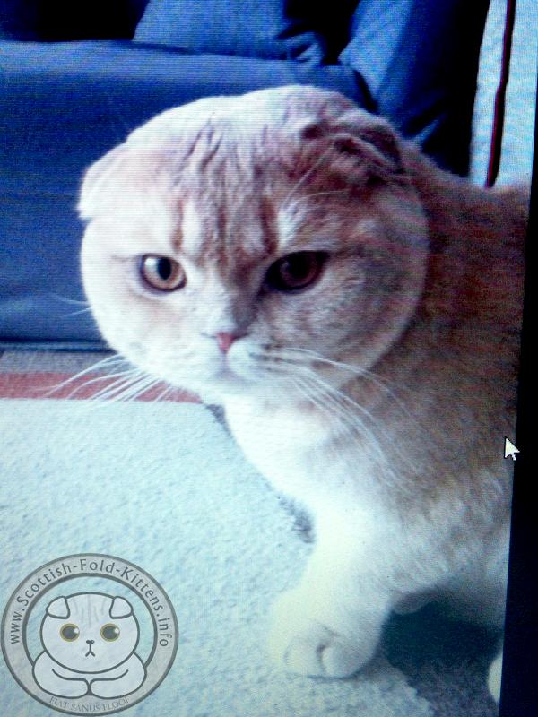 Scottish Fold Kitten cat father sire for sale ad available Faltohr Kätzchen Katze vater deckkater zum Verkauf verfügbar ebay kleinanzeigen