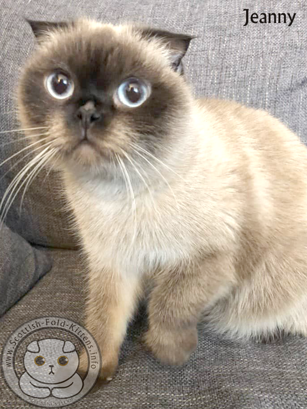 Scottish Fold Kitten Jeanny seal point blue eyes Faltohr Kätzchen Katze Jeanny Farbpoint blaue Augen
