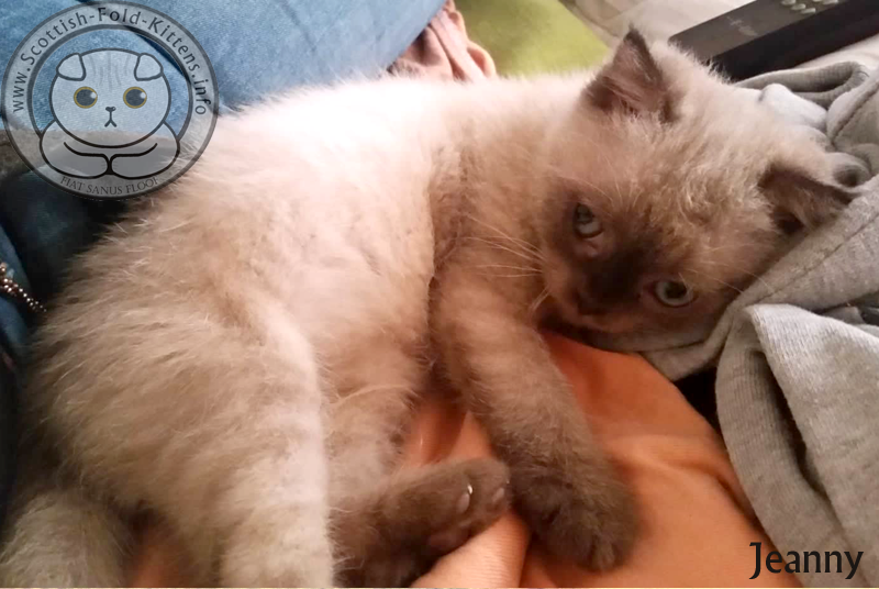 Scottish Fold Kitten Jeanny as ball of fluff fuzzy Faltohr Kätzchen Katze Jeanny Fussel