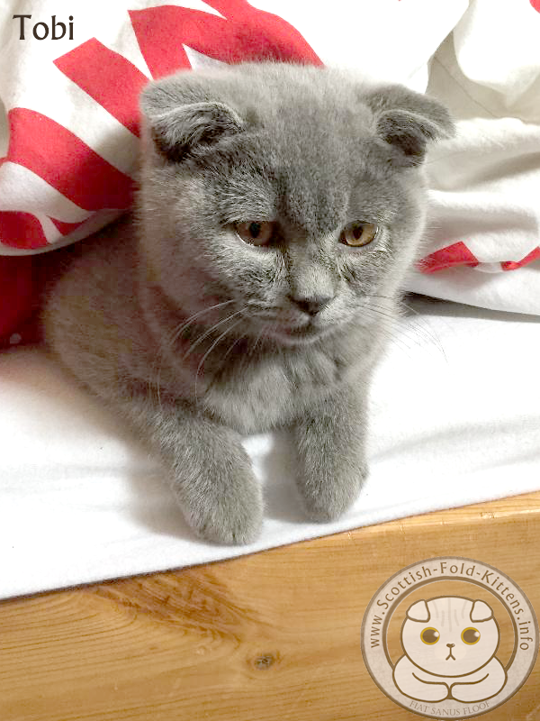 Scottish Fold Kitten Tobi runny eyes Faltohr Kätzchen Katze Kater Tobi Schnupfen