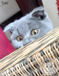 Scottish Fold Kitten Tobi basket Faltohr Kätzchen Katze Kater Tobi im Korb