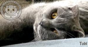 Scottish Fold Kitten Tobi blue close up Faltohr Kätzchen Katze Kater Tobi blau draüßen portrait