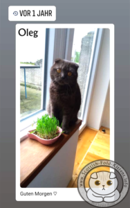 Scottish Fold Kitten Schottisches Faltohr Kätzchen Katze Kater Oleg Backyard Breeder Vermehrer HCM plötzlich gestorben