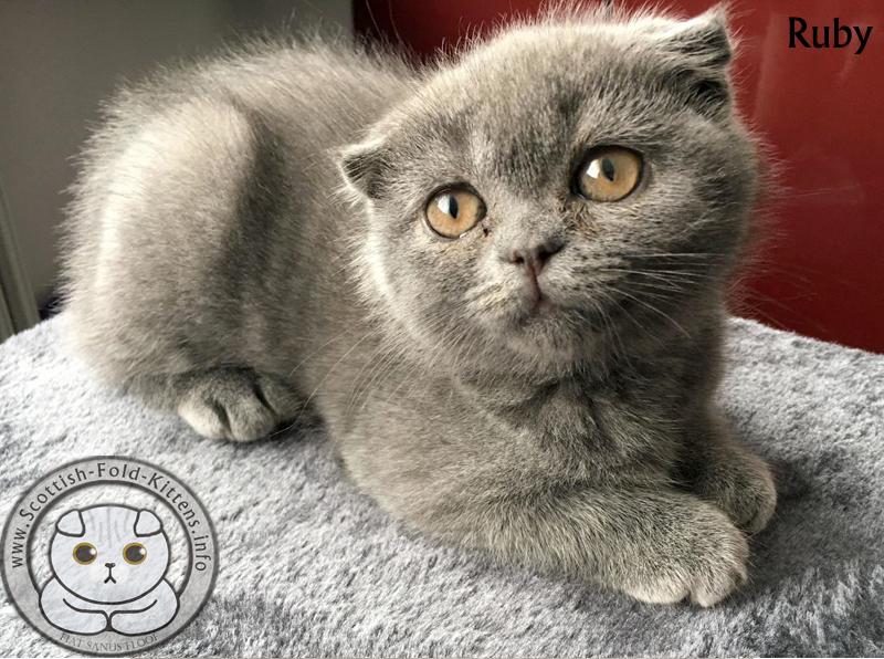 Scottish Fold Kitten Ruby Faltohr Kätzchen Katze OCD Osteochondrodysplasia Osteochondrodysplasie Backyard Breeder Vermehrer sad story trauriges Schicksal Geschichte