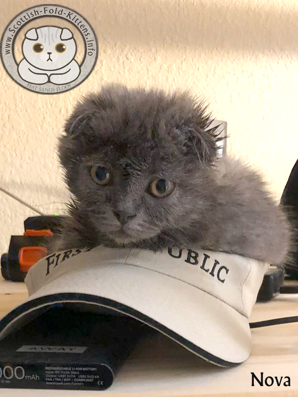 Scottish Fold Kitten Schottisches Faltohr Kätzchen Katze Nova Florida unethical Breeder Vermehrer Adorable Stars