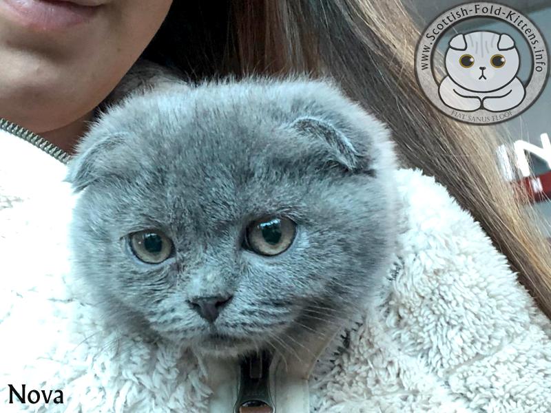 Scottish Fold Kitten Schottisches Faltohr Kätzchen Katze Nova Florida unethical Breeder Vermehrer Adorable Stars