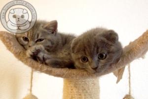 Scottish Fold Kittens brother and sister straight Faltohr Kätzchen Katzen Geschwister bruder und schwester stehohren
