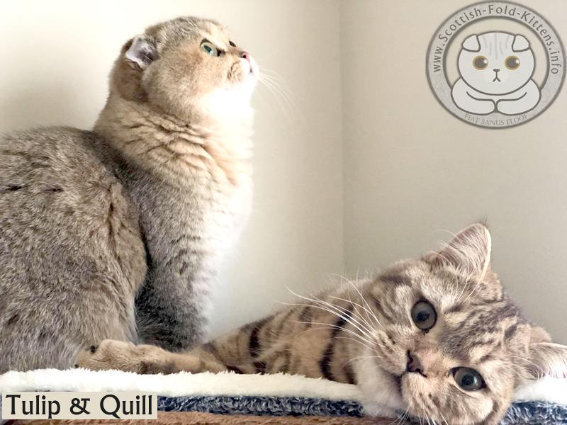 How to Breed Breeding Scottish Fold Kitten Cat Cats Schottisches Faltohr Kätzchen Katze Breeder Vermehrer Züchter Zucht züchten Cattery